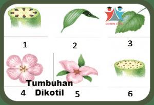 mangga termasuk dikotil atau monokotil