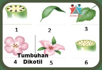 Tumbuhan Dikotil Ciri Struktur Klasifikasi Reproduksi