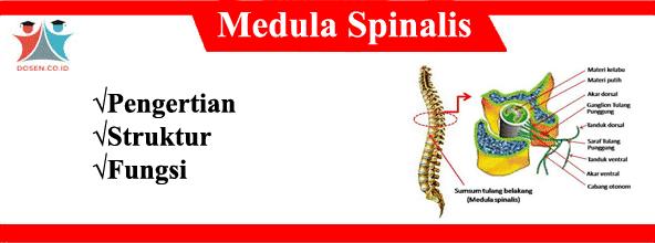 Medula Spinalis: Pengertian, Struktur & Fungsi Sumsum Tulang Belakang