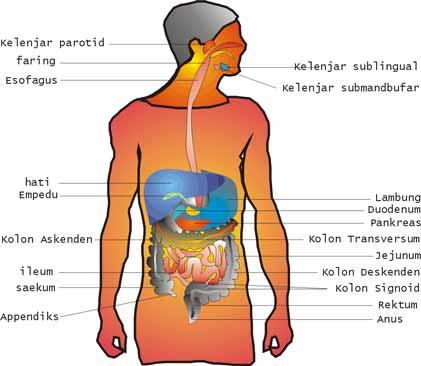 Contoh Adaptasi Fisiologi Pada Manusia