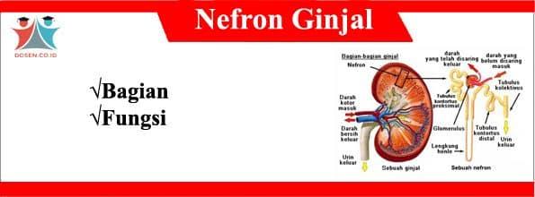 Bagian-Bagian-Nefron-Ginjal