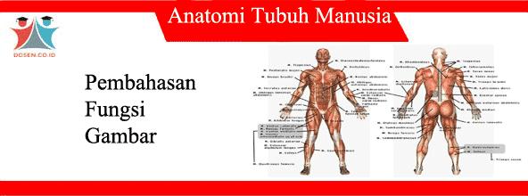 12 Anatomi Tubuh Manusia, Fungsi, Gambar Serta Pembahasannya