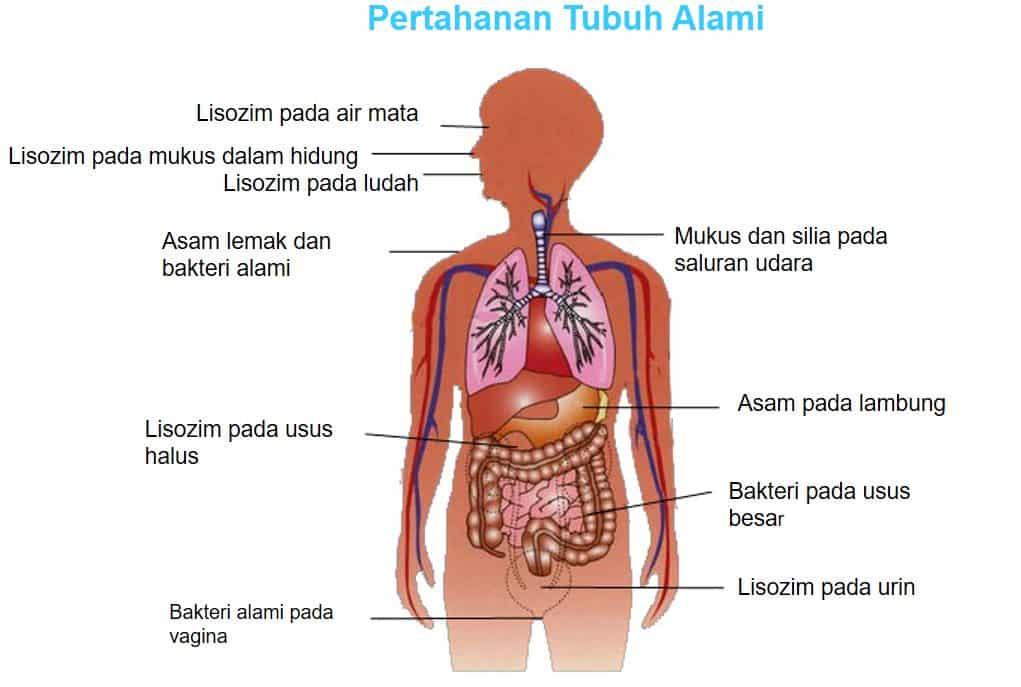 Sistem Kekebalan Tubuh (Sistem Imunitas)