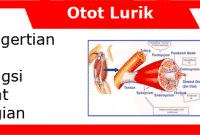 Otot Lurik: Pengertian, Ciri, Fungsi, Sifat dan Bagiannya