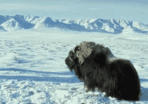 Ekosistem Tundra