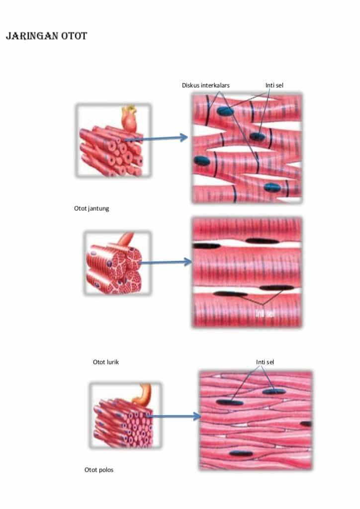 Struktur jaringan otot