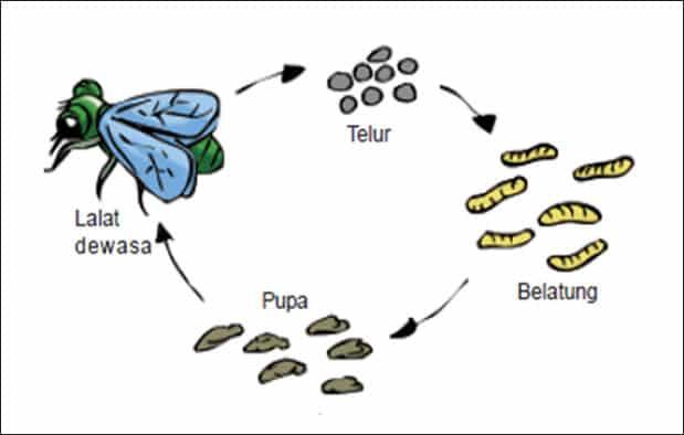 Fase Larva
