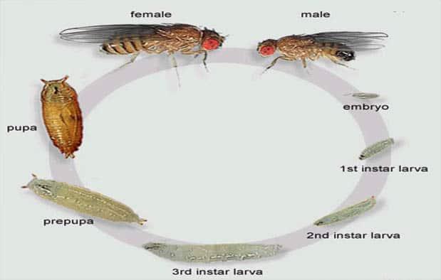 Proses Tahapan Siklus Metamorfosis Lalat