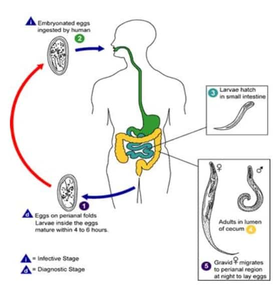 siklus-enterobios