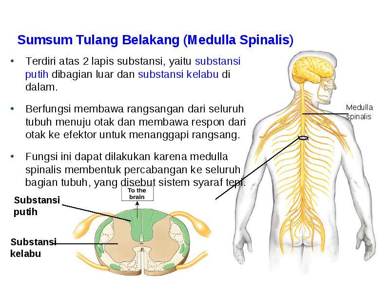 Bagian Dan Fungsi Sumsum Tulang Belakang