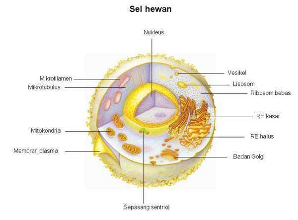 Proses-Pembentukan-Lisosom