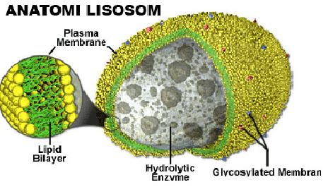 Struktur-Lisosom