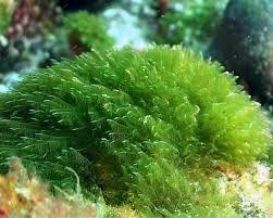 Alga Chlorophyta