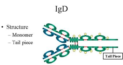 Imunoglobulin D (IgD)